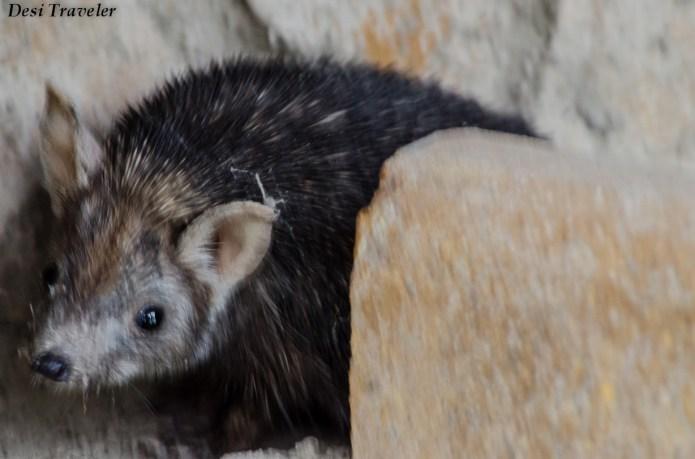 Hedgehog+of+Tal+Chapar+(2)