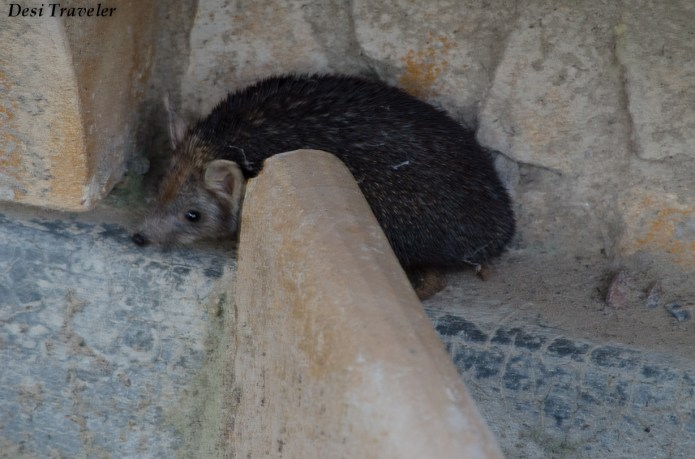 Hedgehog+of+Tal+Chapar+(3) Wildlife Sanctuary