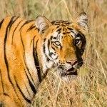 Telia Tiger Cub in Tadoba Andhari Tiger Reserve
