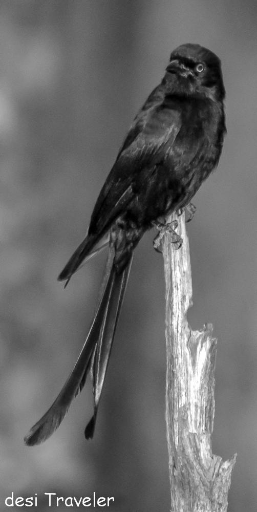 Black drongo Dicrurus macrocercus -Birds of Pench National Park