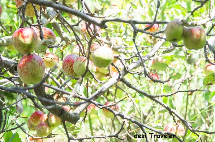 Apples orchard naggar himachal