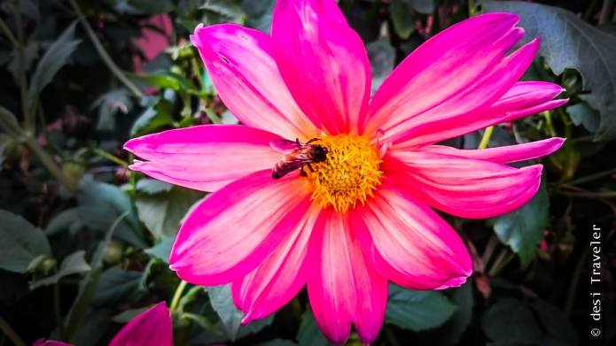 Mughal Gardens Honey bee on flower