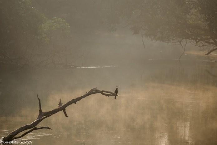 Cormorant on a branch