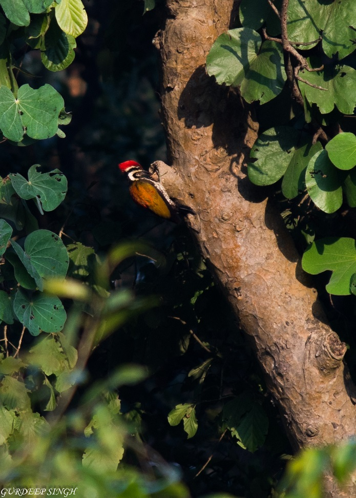 Indian woodpecker