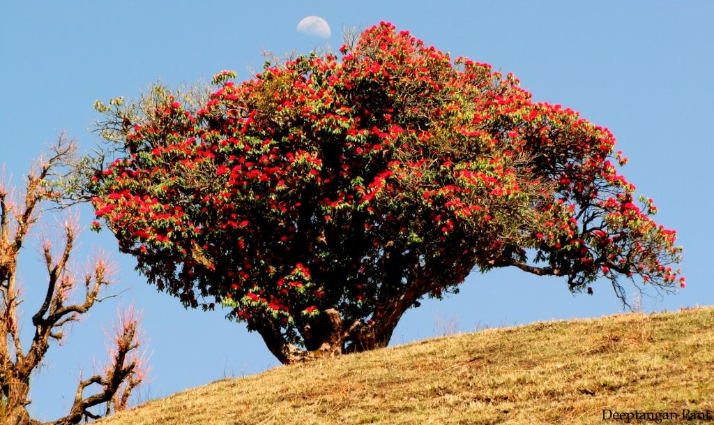 Buransh tree in full bloom