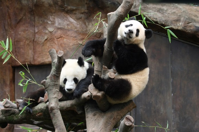 Giant Pandas Hong Kong Ocean Park