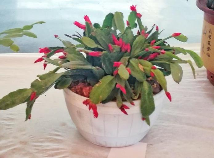 Christmas cactus in flowers