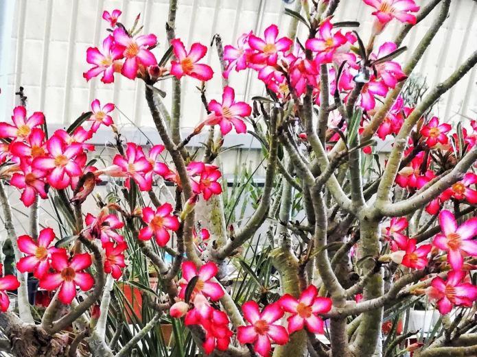 Adenium plant in flower