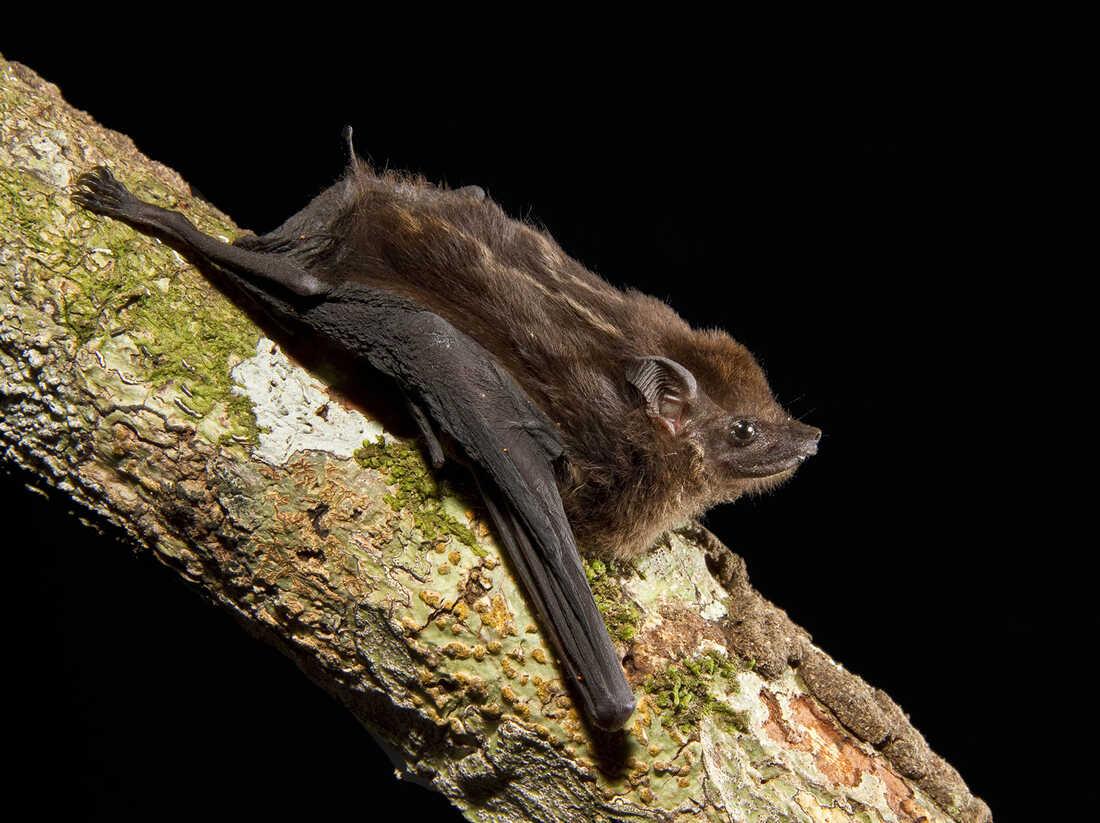 A los murciélagos les encanta balbucear, como los humanos