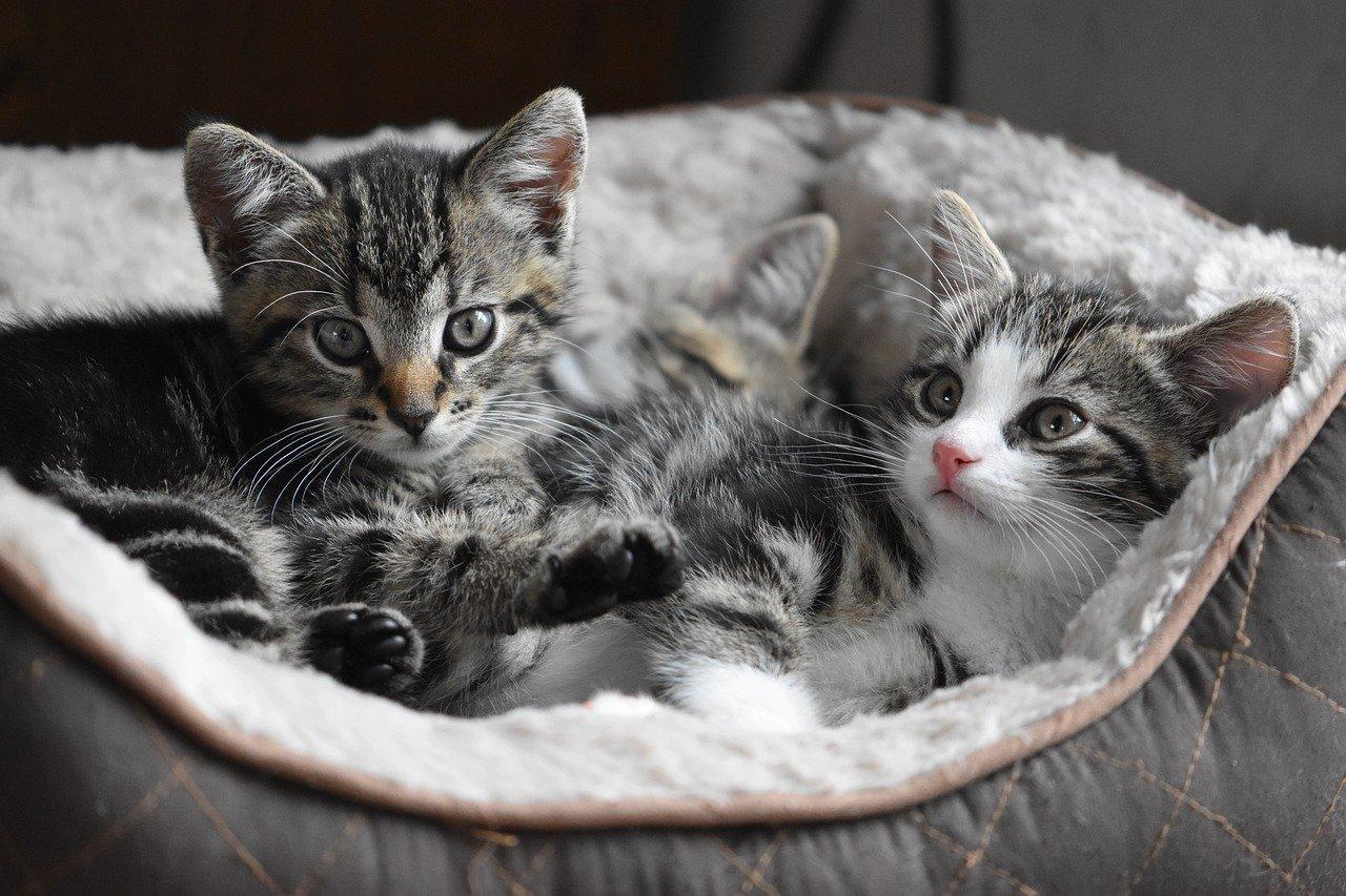 El Día Internacional del Gato se celebra en todo el mundo el 8 de agosto para celebrar la mascota favorita del mundo.