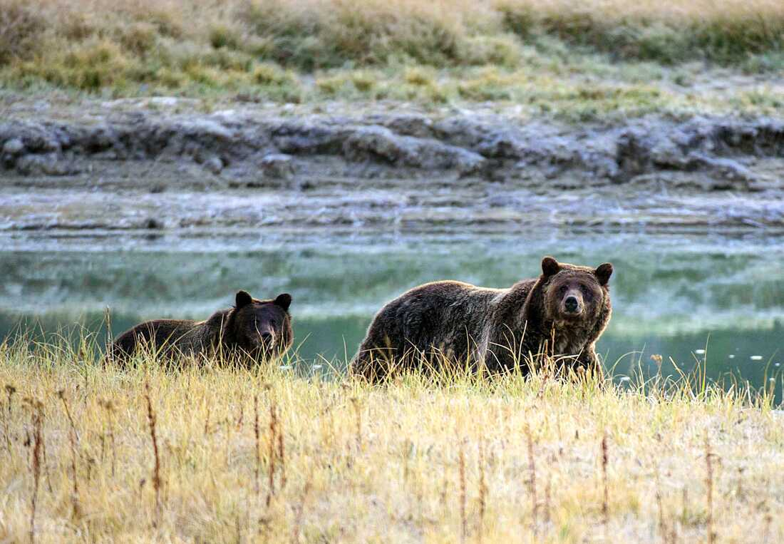 Una mujer fue condenada a 4 días de cárcel por acercarse demasiado a los osos pardos en Yellowstone.