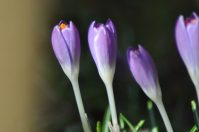 crocus zoom