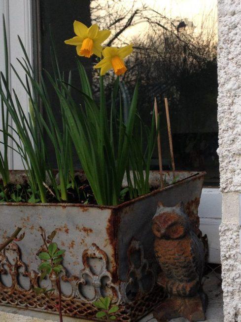 jardinière avec narcisses