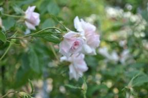 petites roses de la Roseraie du Val de Marne