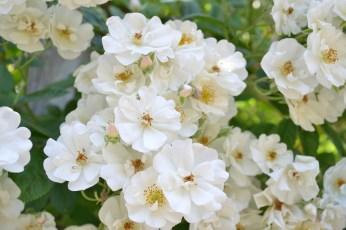 Rosier blanc de la Roseraie du Val de Marne