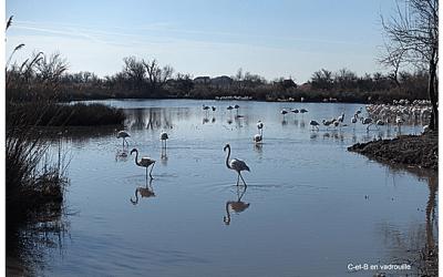 Les flamants roses en février au Parc Ornithologique du Pont de Gau
