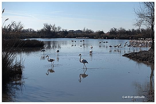 Les flamands roses en février au Parc Ornithologique du Pont de Gau