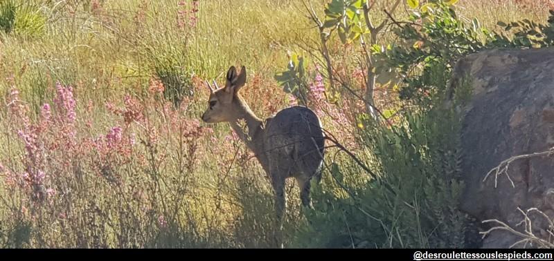 Cederberg Antilope