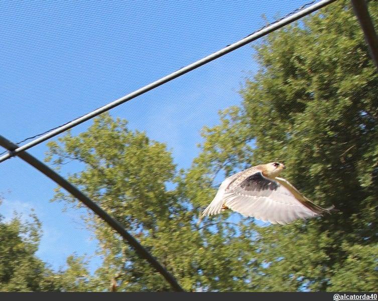 oiseau tombé du nid quoi faire elanion blanc en vol