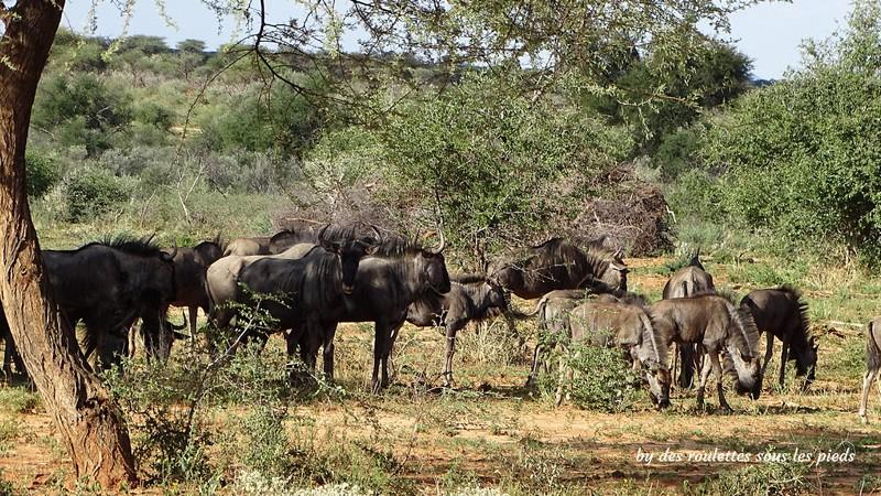 safaris en namibie troupeau de gnous