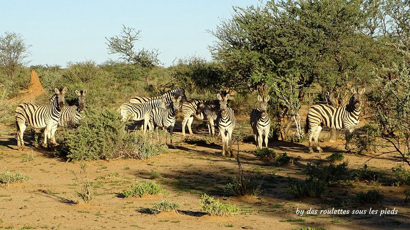 safaris en namibie erindi zèbres