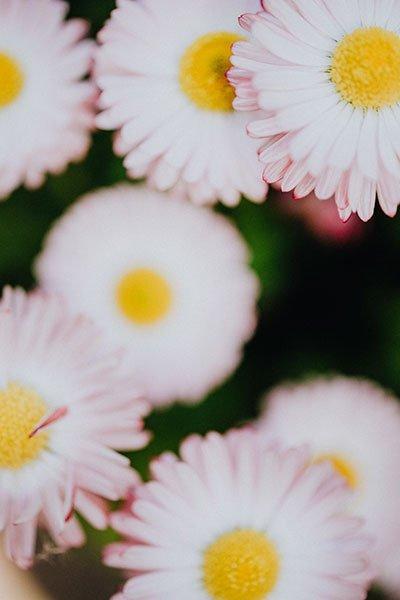 De jolies pâquerettes roses