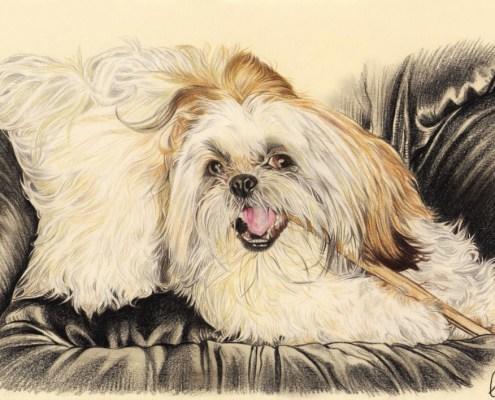 Portrait dessin d'après photo d'un chien Shih Tzu sur un fauteuil