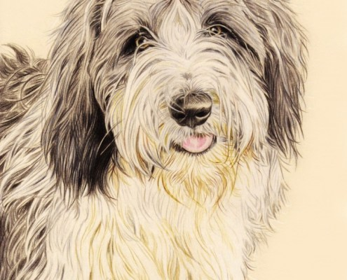 Portrait dessin d'après photo d'un chien bearded collie en couleur