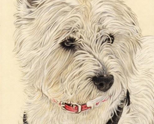 Portrait dessin d'après photo d'un chien westie en couleur