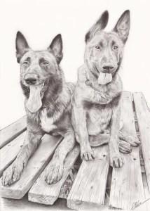 Portrait dessin d'après photo de deux chiens malinois en noir et blanc