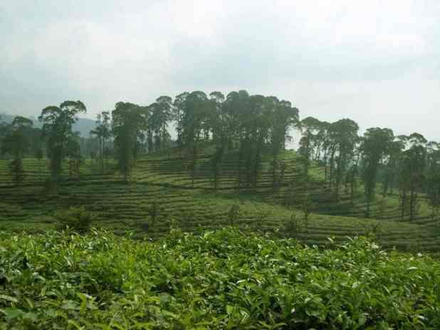 Wisata Kabupaten Batang Kebun Teh