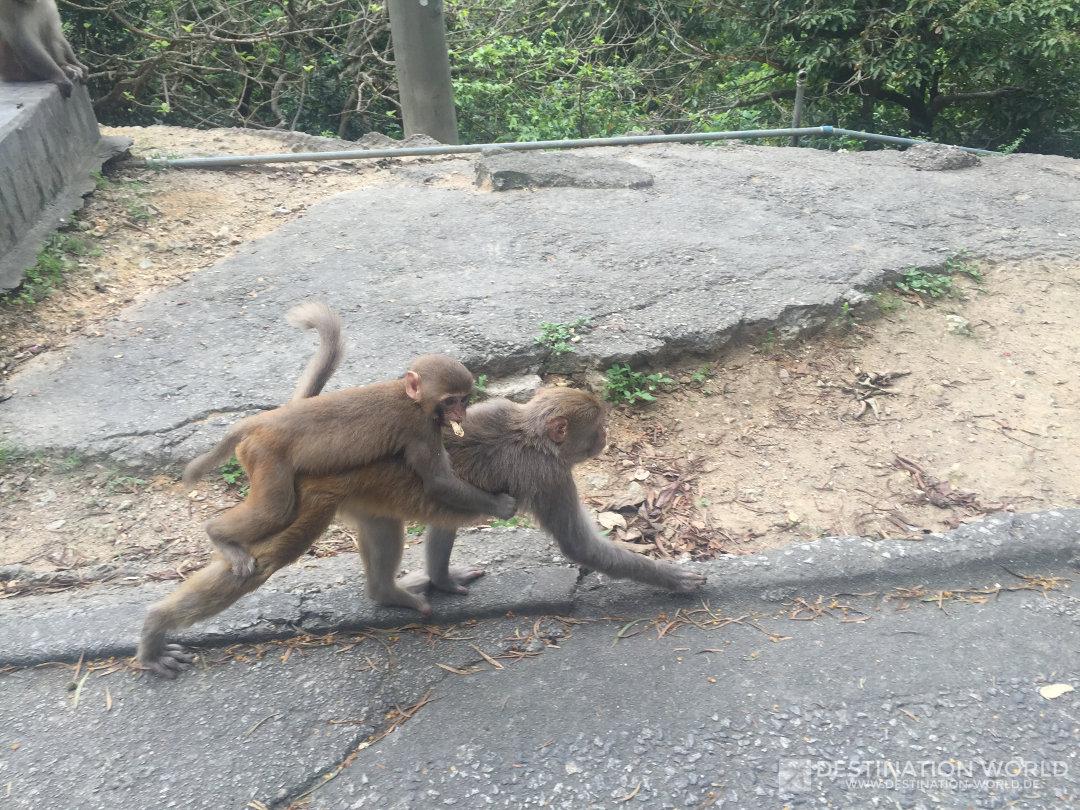 Die Population der Makaken steigt schnell an, man kann viele Affenkinder sehen