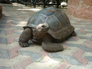 Sansibar Prison Island Riesen Schildkröten