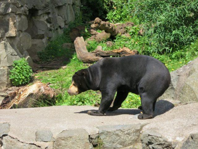 Solbjørn i Edinburgh Zoo