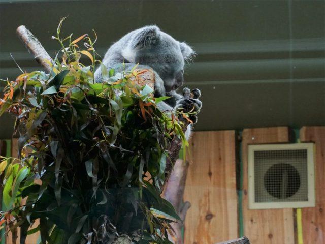 Koala Edinburgh Zoo