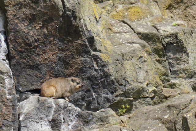 Rock Hyrax Edinburgh Zoo