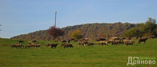 Овце - Косарка