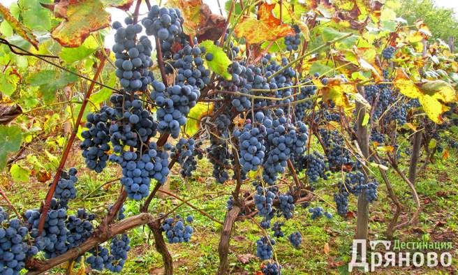 Долни Драгойча - грозде