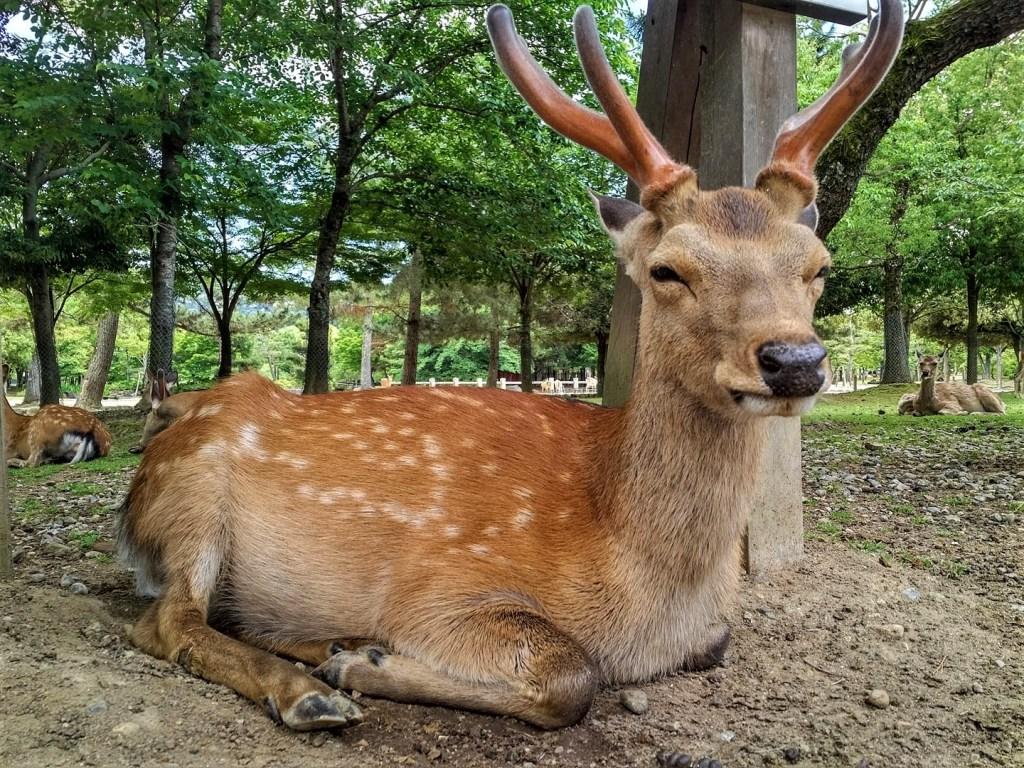 voyager au japon en 2021, cerf kawai au japon a nara