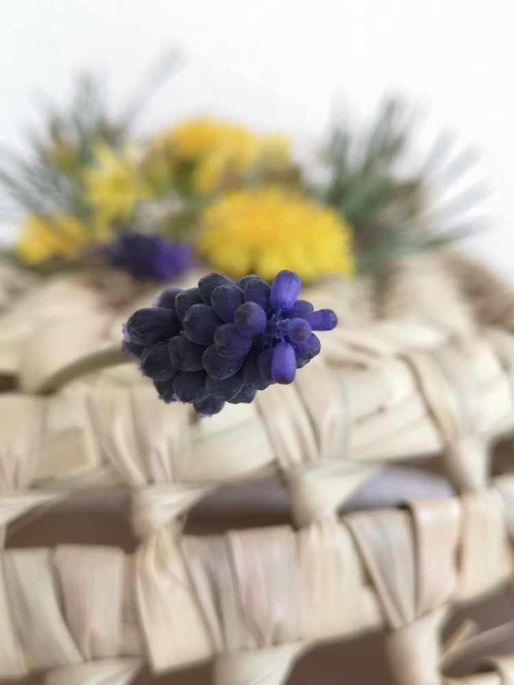 Fleurs des Alpes-Muscari