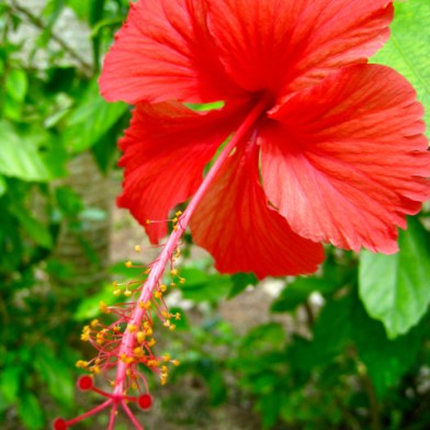 Hibiscus, known as the flower of Hawaï