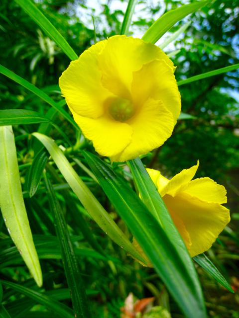 Allamanda, originally from South America