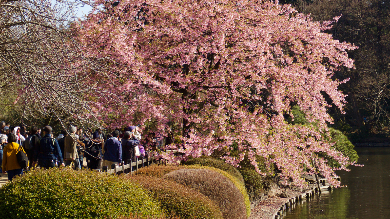 Shinjuku Gyoen photographers are taking pictures of Cherry in bloom