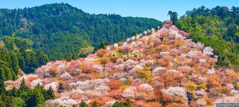 Cerisiers en fleurs sur la colline de Yoshino