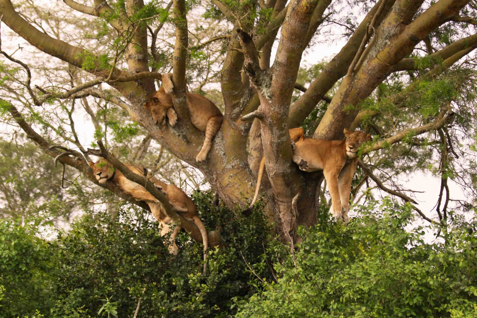 Lake-Manyara-Tree-Climbing-Lions