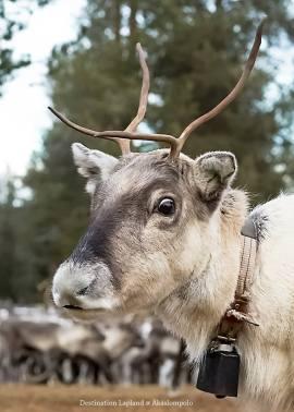 Destination Lapland - reindeer