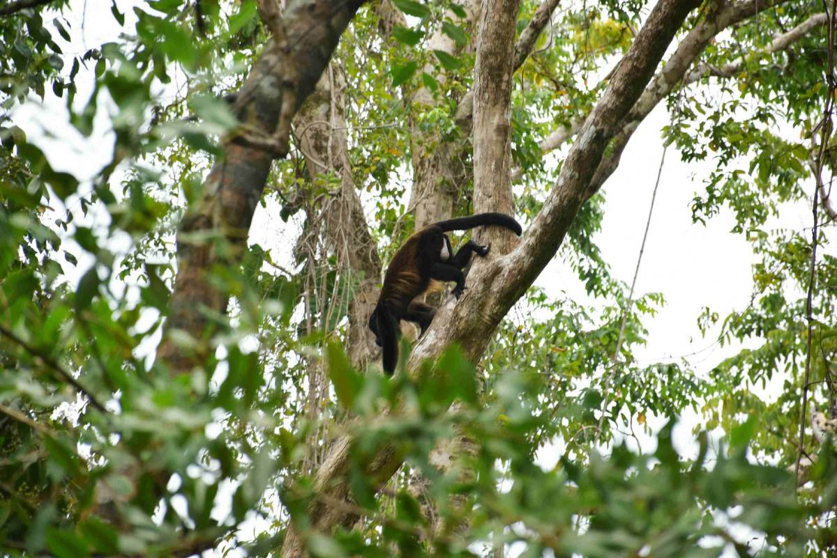Another howler monkey spotting in Cahuita National Park
