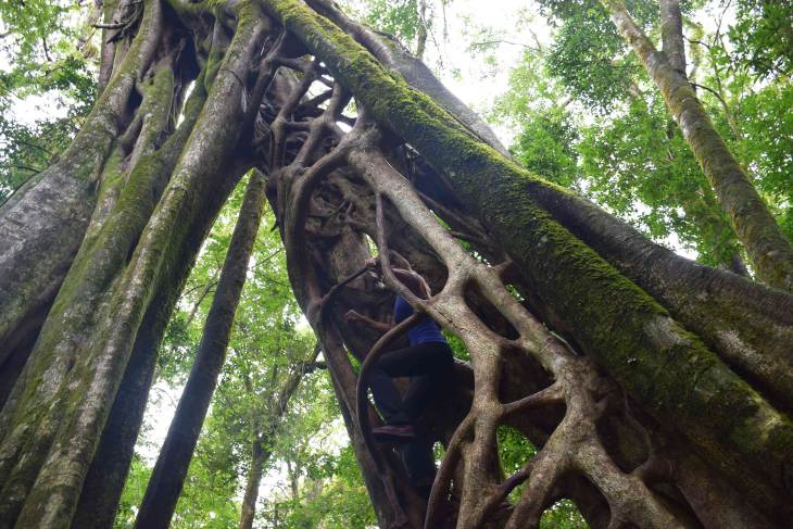 the ficus tree is one of the best things to do in Monteverde