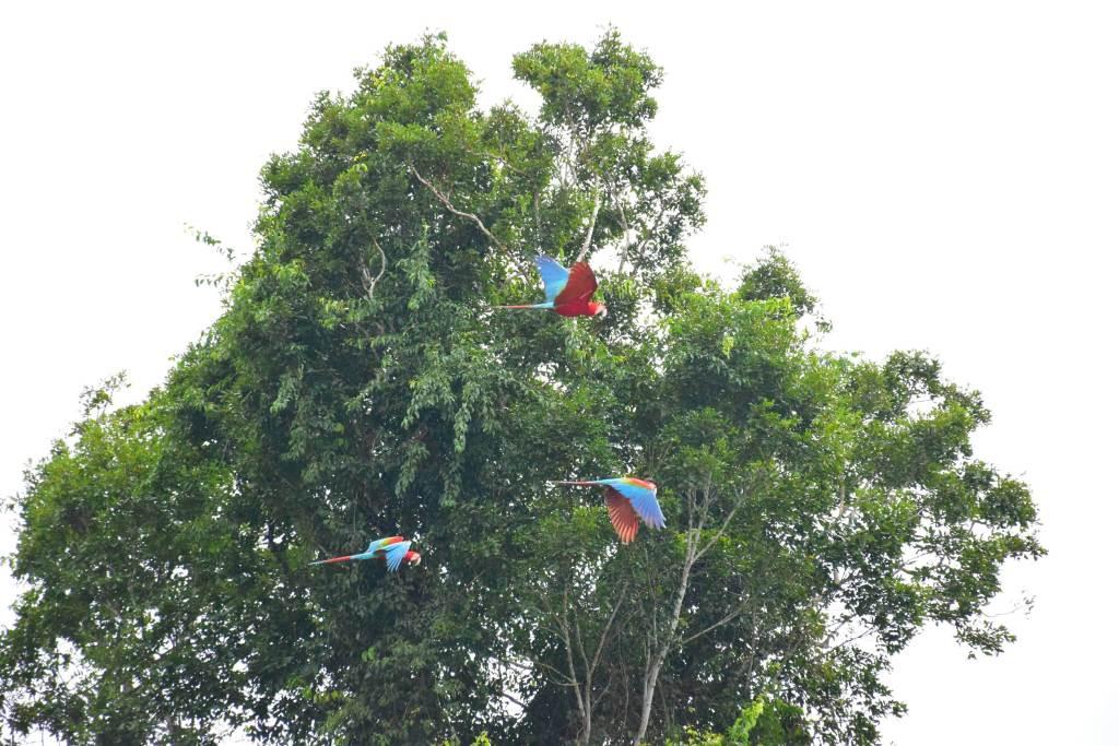 macaws peru travel photo gallery