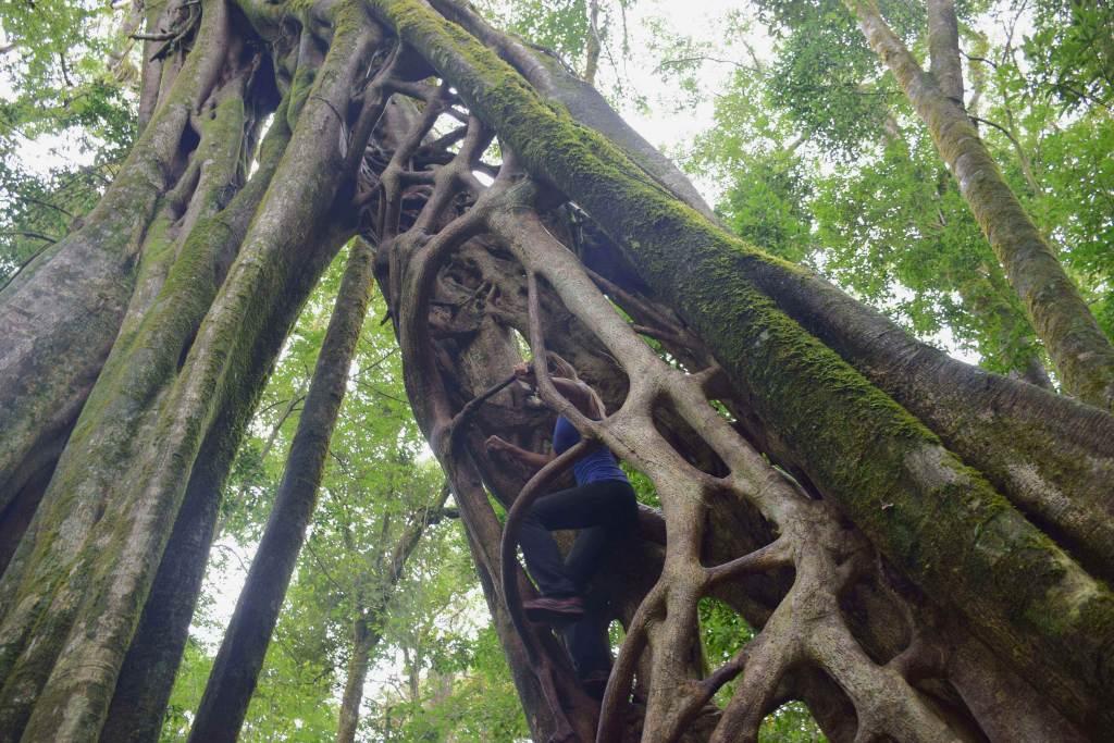the finca tree in monteverde